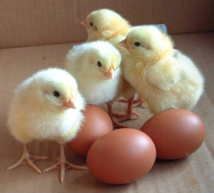 Day Old Chicks.jpg